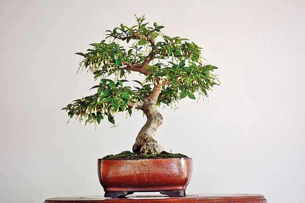 Daily Mirror Bonsai Beauty Of A Living Art